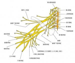 神経 叢 腕